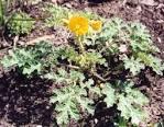 Images • Solanaceae; acnistus; brugmansia; dunalia