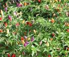 Image/JPEG: Solanaceae