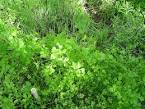 سبزی pronunciation