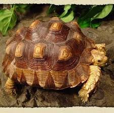 tortoise