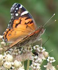 http://images.google.com/images?q=tbn:C3SaY2am6gcetM:http://www.laspilitas.com/butterfl_files/American_painted_lady_1.JPG