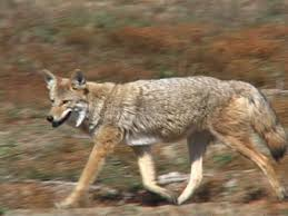 Picture of Coyotes