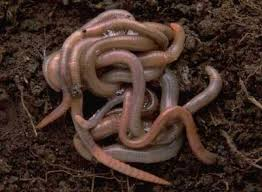 Picture of Worms