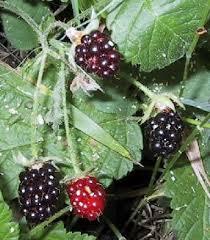 IMAGE(http://images.google.com/images?q=tbn:PLiwnajVPGAbkM:http://www.humeseeds.com/wildblackberries2.jpg)