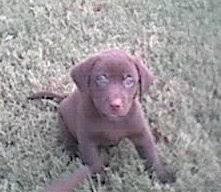 http://www.hartzer.com/chocolate-lab-puppies-for-sale.shtml
