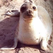 כלב-ים