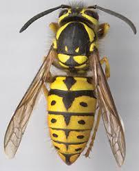 Bastard Bee