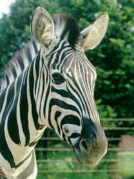 zebra 1