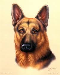 ... German shepherd ...